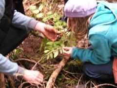 digging mahonia