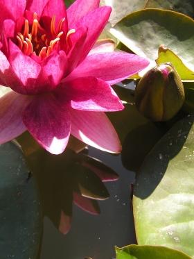 magenta lily