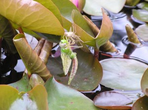 dragonfly emerging