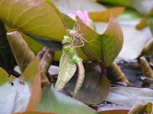 dragonfly emerging 3