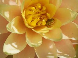 tree frog in lily
