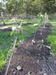 trees planted at 45 degree angle