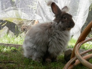 Gustav- Chocolate French Angora, 1 year old