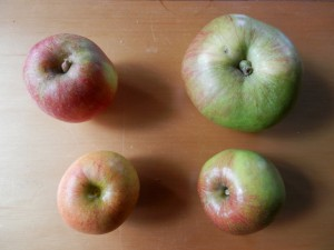 Clockwise: Tydeman's Late Orange, Bramley's Seedling, Lord Lambourne, Rubinette