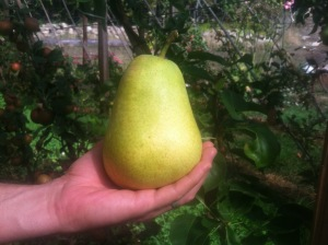 rescue pear